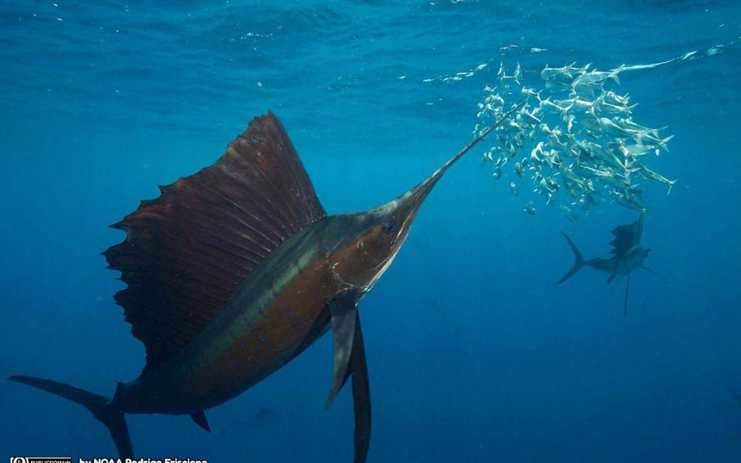 Zwaardvisspel